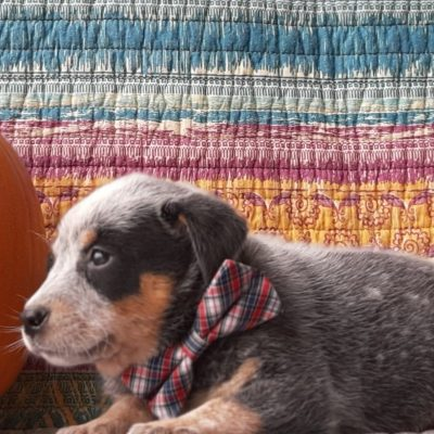Greyson- Australian Cattle dog puppie for sale at Peach bottom, Pennsylvania