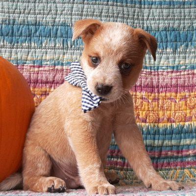 Buddy- Australian Cattle dog doggie for sale near Peach bottom, Pennsylvania