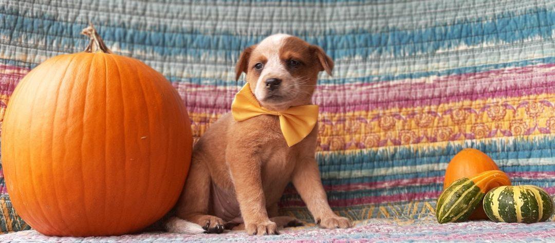 Casey - Australian Cattle dog puppy for sale in Peach bottom, Pennsylvania