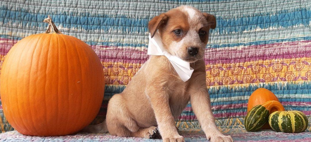 Yeti - male Australian Cattle dog pup for sale at Peach bottom, Pennsylvania