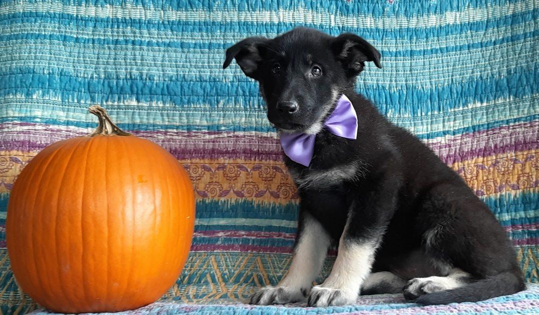 Nelly - pup German Shepherd for sale near Christiana, Pennsylvania