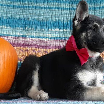 Eve - German Shepherd puppy for sale at Christiana, Pennsylvania
