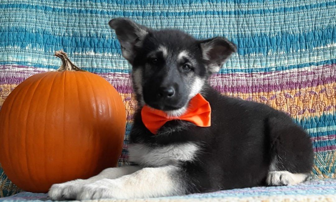Darcy - German Shepherd puppie for sale at Christiana, Pennsylvania