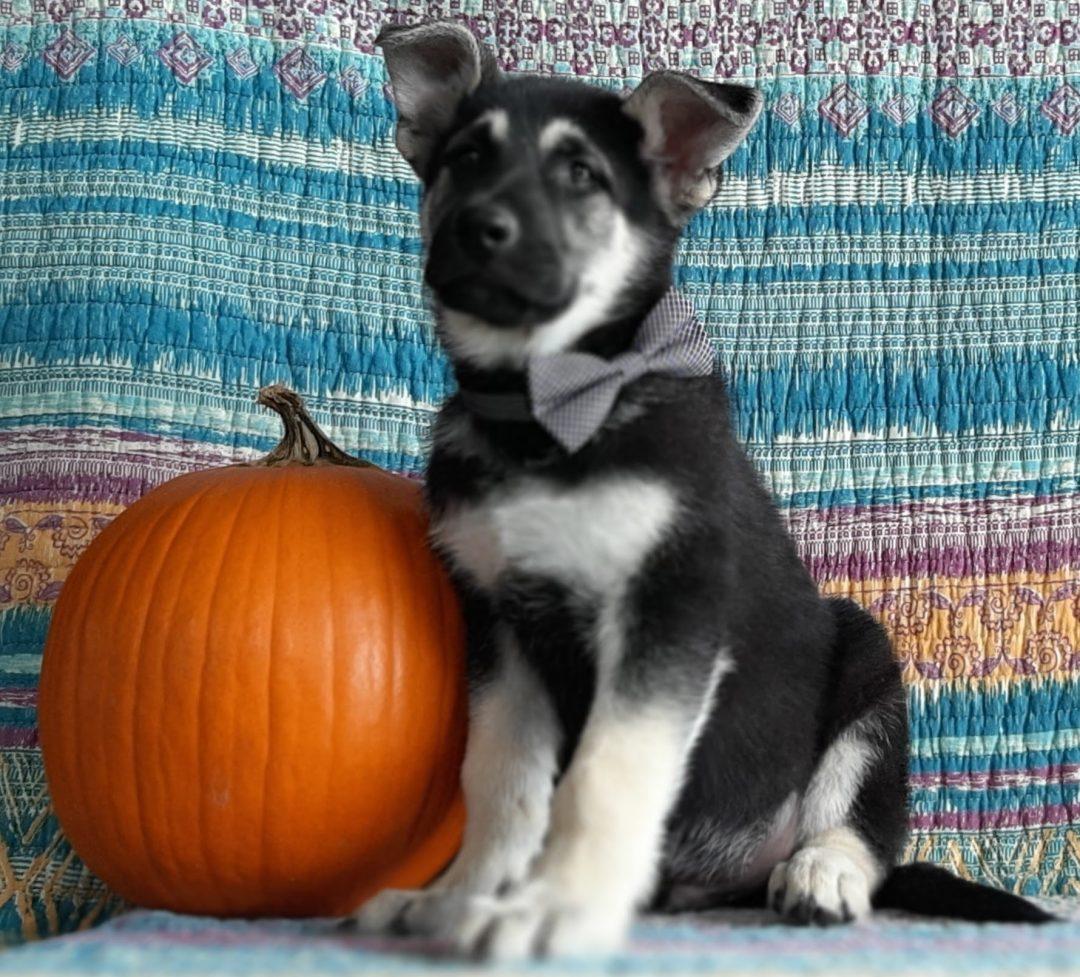 Weaver - male German Shepherd doggie for sale near Christiana, Pennsylvania