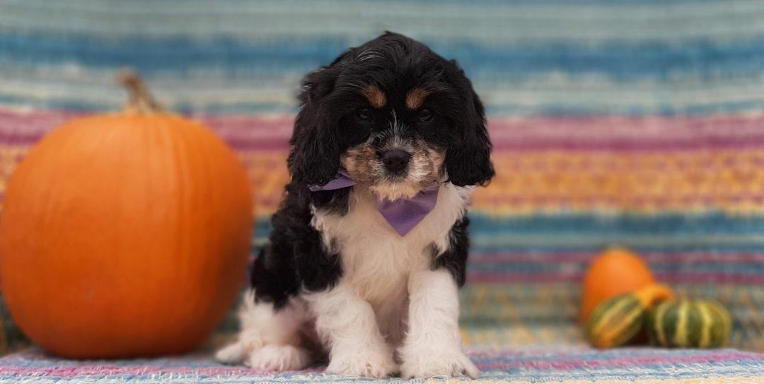 Hope - Cavachon doggie for sale at Narvon, Pennsylvania