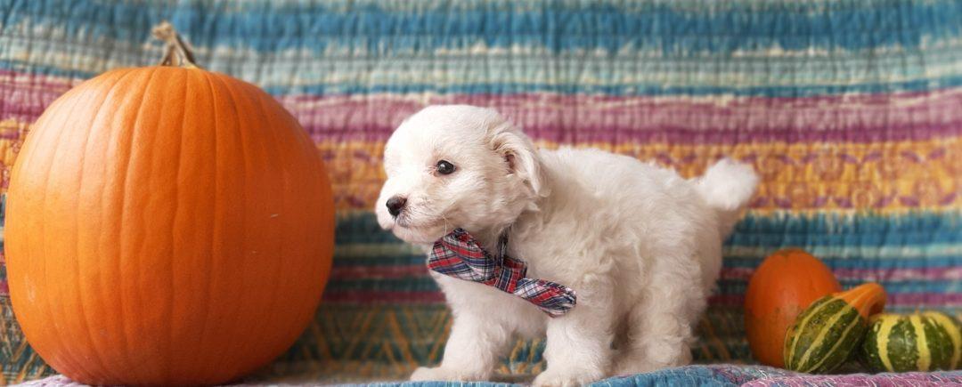 Axel - Mini Eskapoo puppy for sale at Gordonville, Pennsylvania