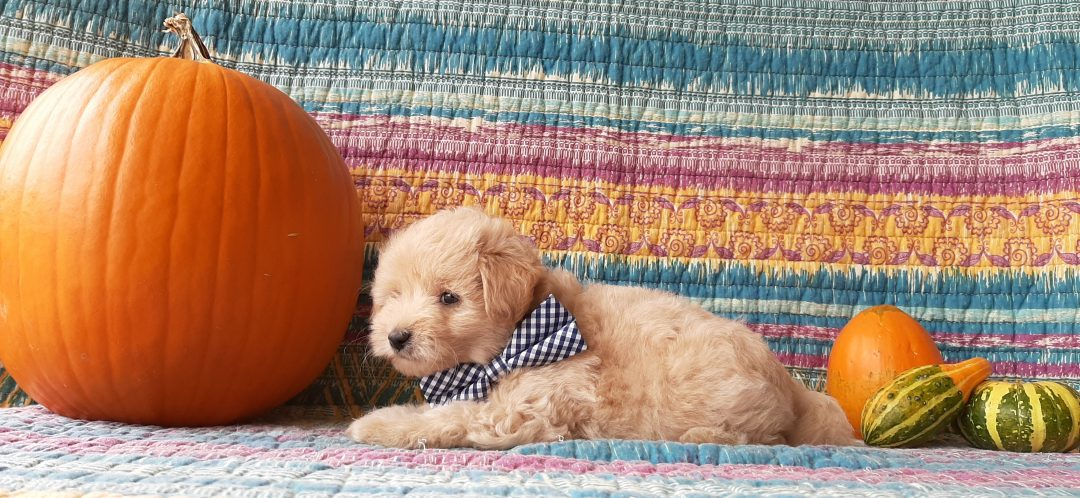 Milo - Mini Eskapoo pup for sale near Gordonville, Pennsylvania