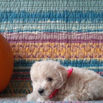 Tink - puppie Mini Eskapoo for sale at Gordonville, Pennsylvania