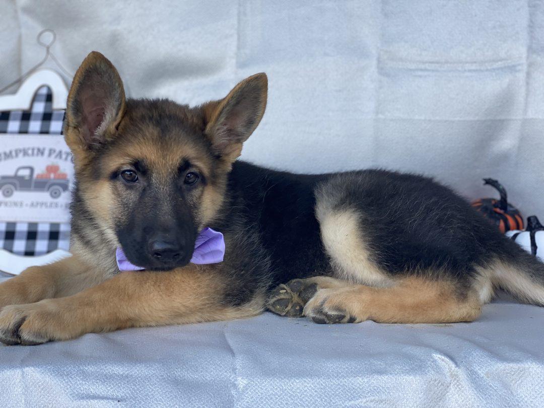 Heidi - puppie German Shepherd for sale in Honeybrook, Pennsylvania