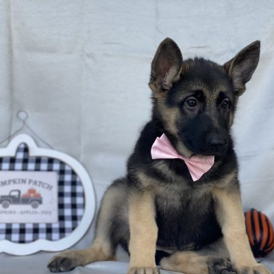 Lina - German Shepherd doggie for sale at Honeybrook, Pennsylvania