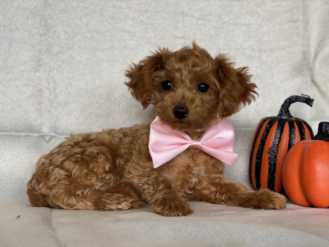 Gigi - female AKC Toy Poodle pupper for sale Honeybrook, Pennsylvania