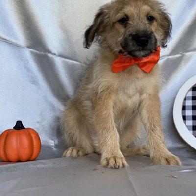 Shaggy - Eskapoo pupper for sale in Kirkwood, Pennsylvania