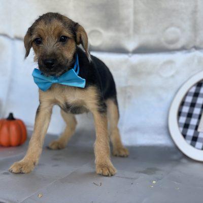 Rocky - Eskapoo pup for sale at Kirkwood, Pennsylvania