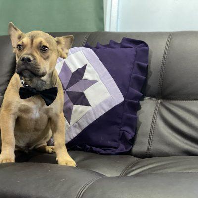 Benjamin - Frenchie mix male doggie for sale in Oxford, Pennsylvania
