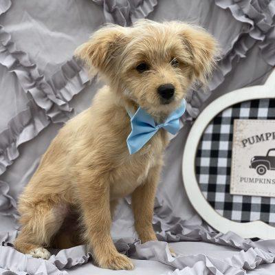 Conan - Shndoodle doggie for sale near Peachbottom, Pennsylvania