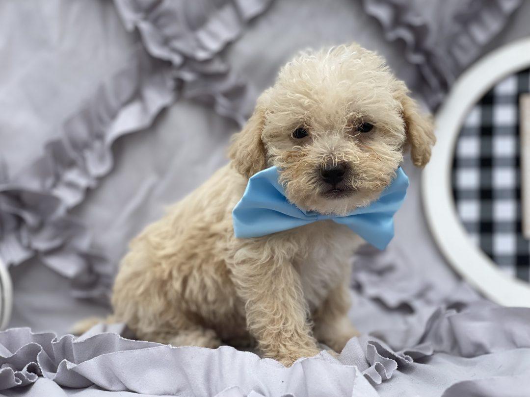 Munson - Shipoo puppy for sale in Peachbottom, Pennsylvania