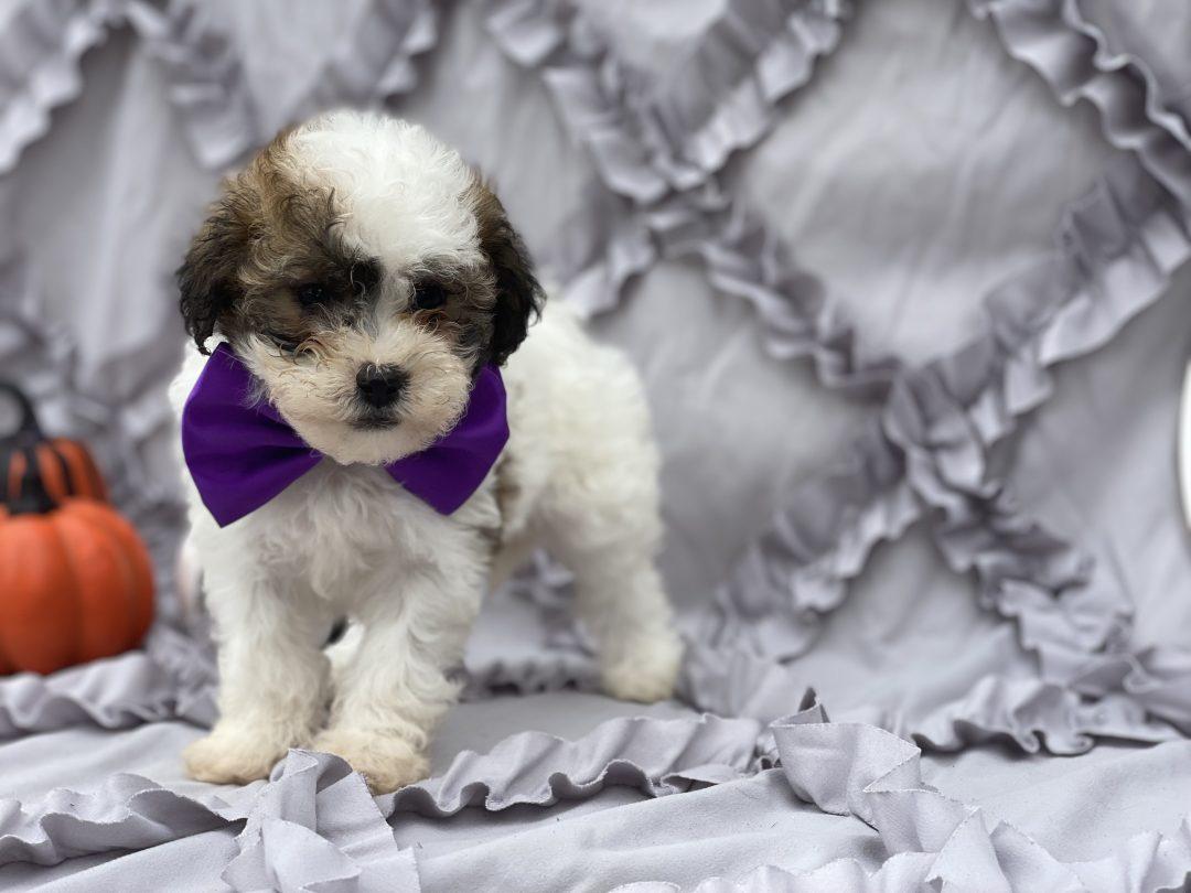 Sadie - Shipoo pup for sale at Peachbottom, Pennsylvania
