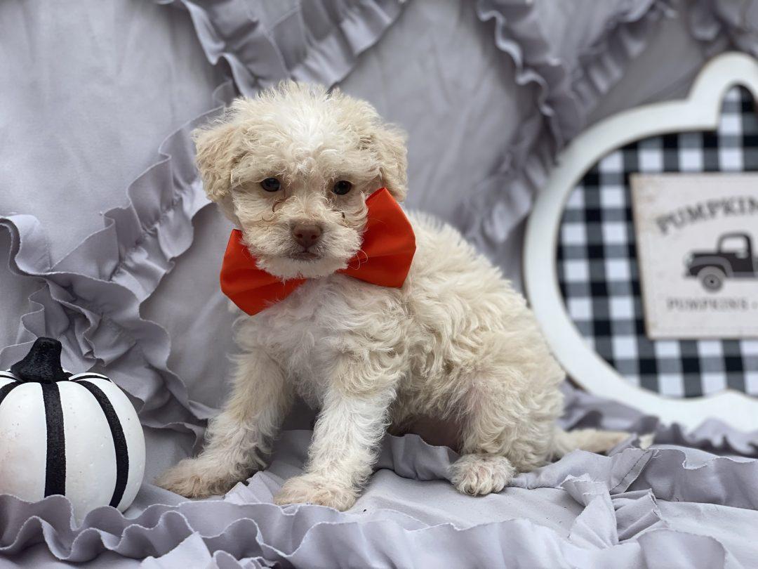 Jiffy - puppie Shipoo for sale in Peachbottom, Pennsylvania