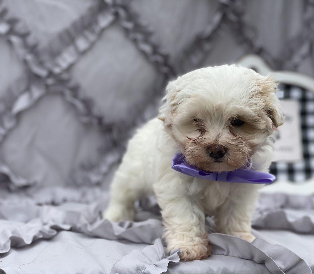 Star - Maltipoo puppy for sale in Peachbottom, Pennsylvania