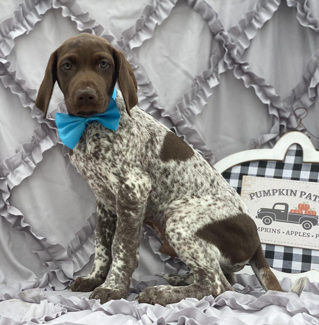 Felix - German short hair pointer doggie for sale at Kirkwood, Pennsylvania
