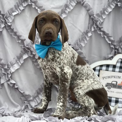Dudley - German short hair pointer puppie for sale in Kirkwood, Pennsylvania