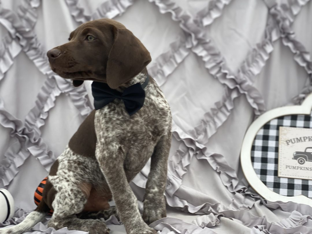 Dawson - male German short hair pointer pup for sale at Kirkwood, Pennsylvania