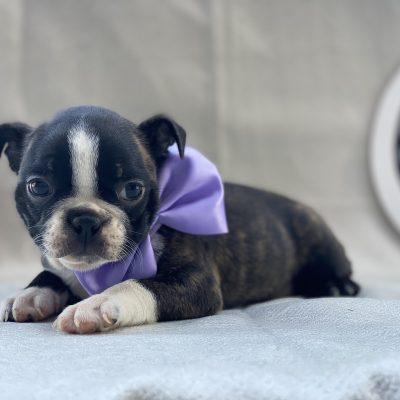 Gem - aca registred boston terrier - honeybrook pa