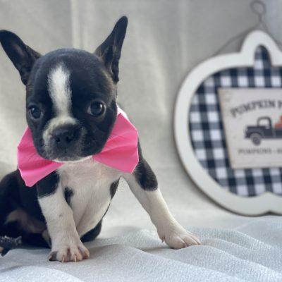 Angel - aca registred boston terrier - honeybrook pa