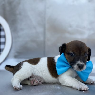 Chip - Jack Russell terrier puppie for sale in Quarryville, Pennsylvania
