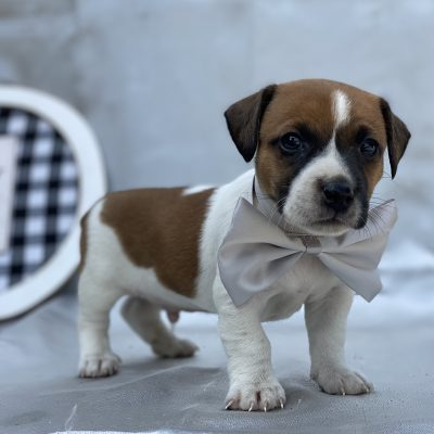 Bandit - Jack Russell terrier puppie for sale at Quarryville, Pennsylvania