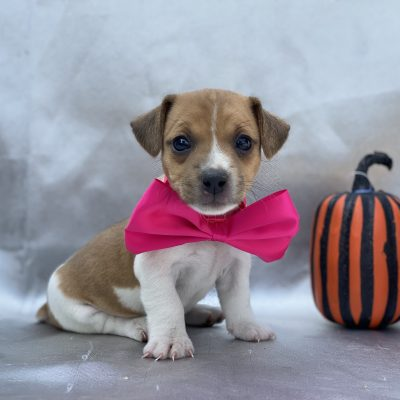 Maggie - female Jack Russell terrier doggie for sale near Quarryville, Pennsylvania