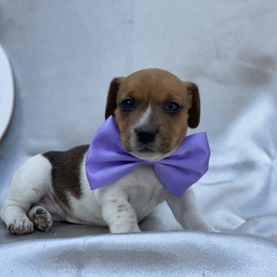 Trixie - Jack Russell terrier puppy for sale in Quarryville, Pennsylvania