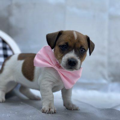 Pebbles - Jack Russell terrier - Quarryville PA