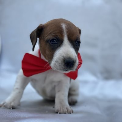 Bailey - Jack Russell terrier pupper for sale near Quarryville, Pennsylvania