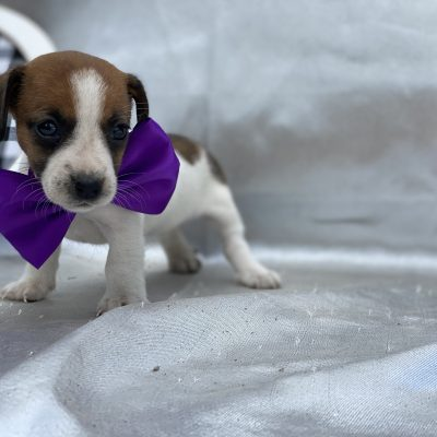Gracie - Jack Russell terrier - Quarryville PA