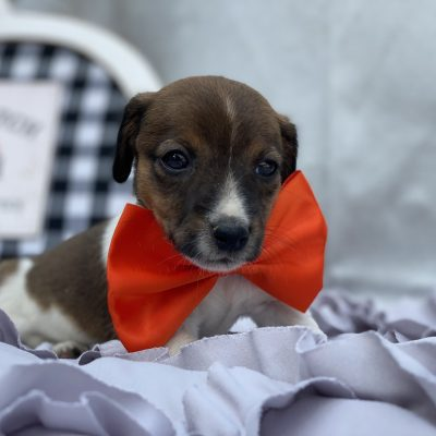 Jingles - doggie Jack Russell terrier for sale at Quarryville, Pennsylvania
