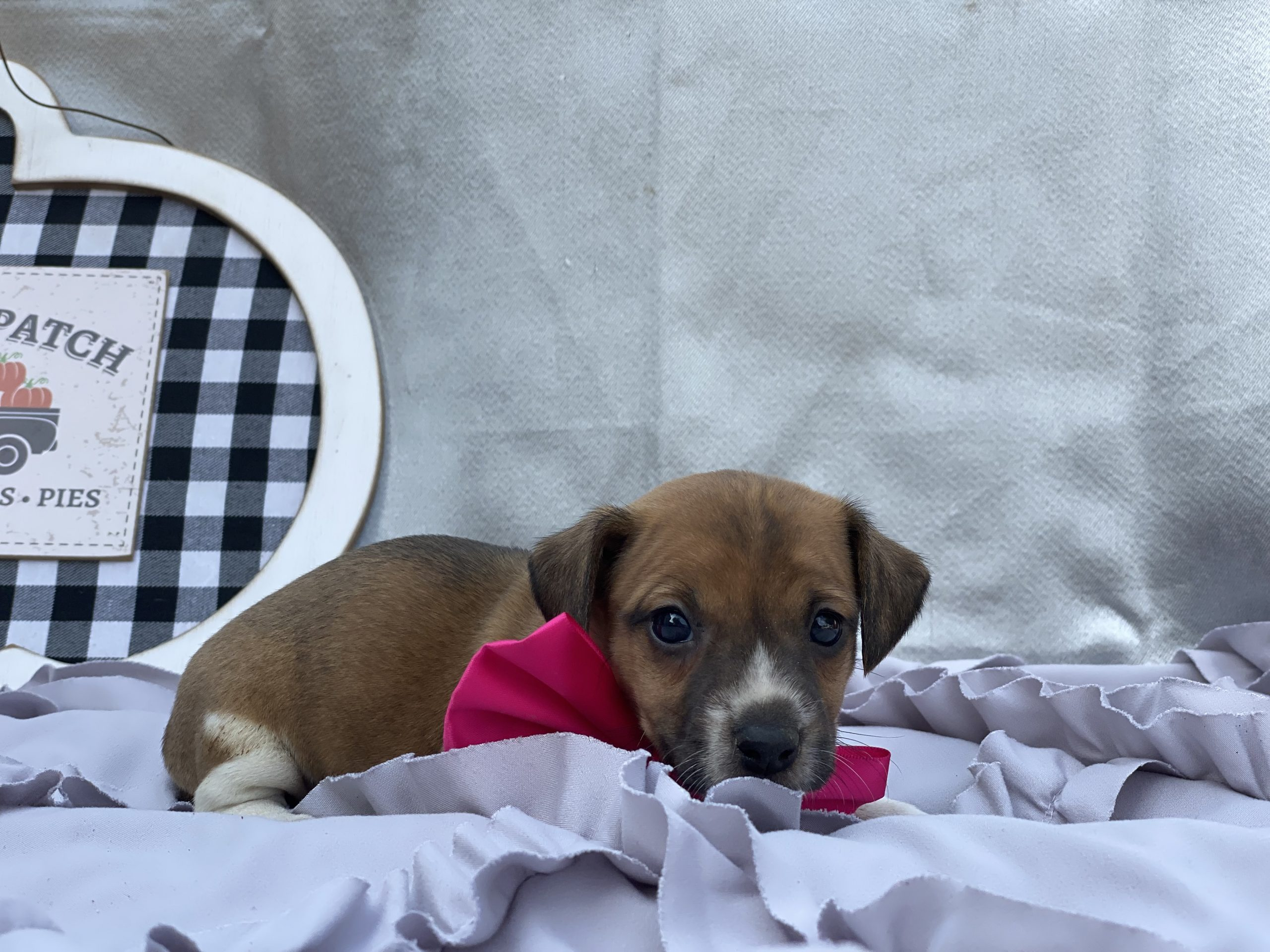 Lady - Jack Russell terrier puppy for sale near Quarryville, Pennsylvania