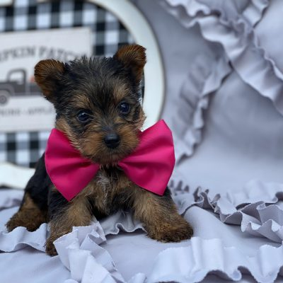 Princess - Yorkshire terrier - New Providence PA