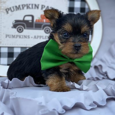 Poncho - Yorkshire terrier - New Providence PA