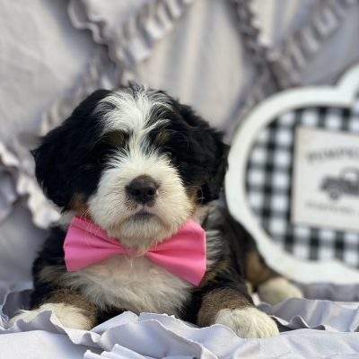 Lana F1B Bernedoodle puppy for sale at Christiana, Pennsylvania Standard size