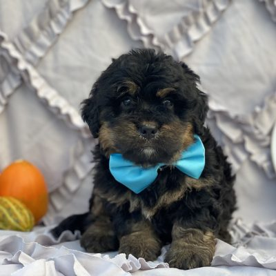 Omar F1B Bernedoodle puppy for sale at Christiana, Pennsylvania Standard size