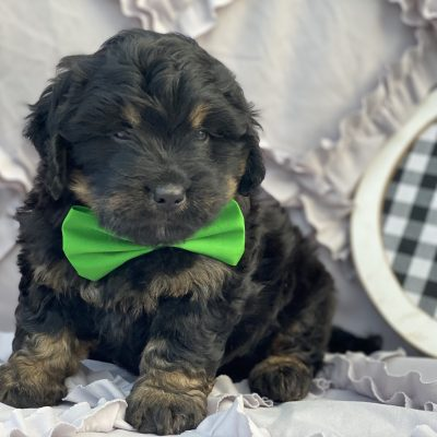 Cash F1B Bernedoodle puppy for sale at Christiana, Pennsylvania Standard size