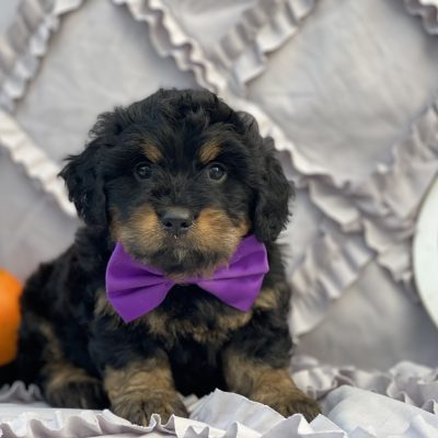 Myka F1B Bernedoodle puppy for sale at Christiana, Pennsylvania Standard size