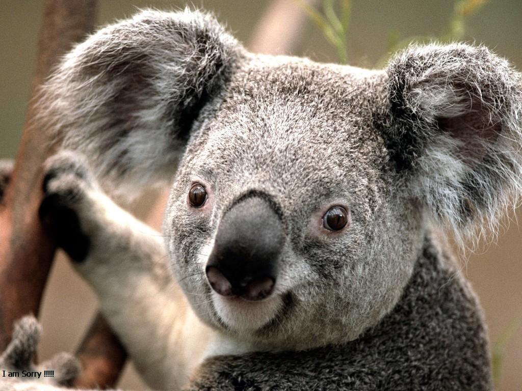 koala_1-jpg